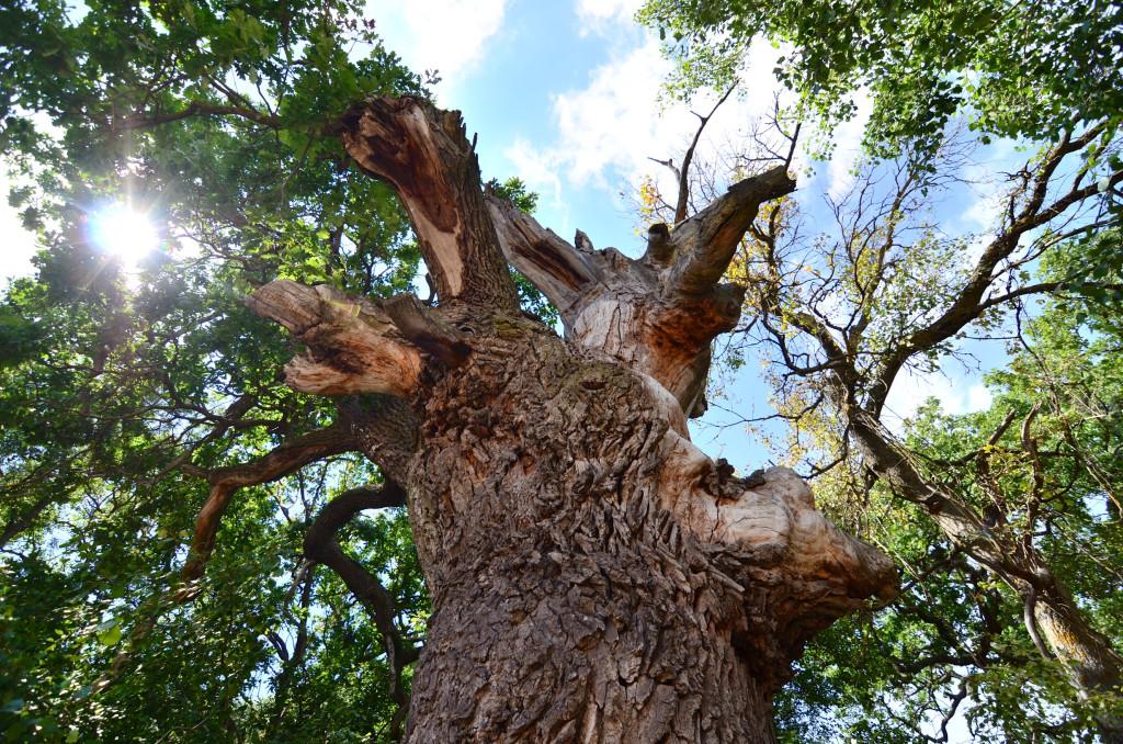 Stejar Secular - Padurea Letea